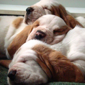 Morning Dew Sweepers Basset Hound puppies